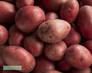 Ziemniaki Rudolf worek 15 kg. Warzywa od rolnika Warszawa